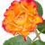 narancs · rózsa · rügy · közelkép · gyönyörű · természet - stock fotó © karandaev