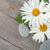 százszorszép · kamilla · virág · tenger · kövek · izolált - stock fotó © karandaev