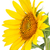 girasole · isolato · bianco · top · view · fiore - foto d'archivio © karandaev