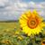 campo · girassóis · brilhante · verão · dia · flor - foto stock © karandaev