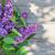 arbusto · flores · primavera · jardim - foto stock © karandaev