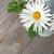százszorszép · kamilla · virágok · fa · asztal · copy · space · levél - stock fotó © karandaev