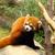 the endangered red panda stock photo © kawing921