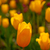 colorful tulips field stock photo © keko64