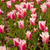 colorful tulips field stock photo © keko64