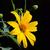 мексиканских · подсолнечника · небе · цветок · текстуры · пейзаж - Сток-фото © kheat