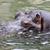 hippopotamus hippopotamus amphibius stock photo © kidza