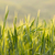 barley fields on a nice spring day stock photo © kidza