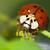 biologico · coccinella · mangiare · natura · rosso - foto d'archivio © kidza