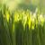 fresche · verde · grano · erba · gocce · rugiada - foto d'archivio © kidza