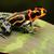 tropical poison frog stock photo © kikkerdirk