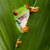 red eyed tree frog peeping stock photo © kikkerdirk