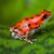 red poison frog stock photo © kikkerdirk
