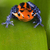 frog red poison dart frog with bright blue legs stock photo © kikkerdirk