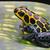 poison dart frog stock photo © kikkerdirk