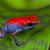 poison dart frog Escudo stock photo © kikkerdirk