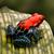rosso · veleno · Dart · rana · blu · gambe - foto d'archivio © kikkerdirk