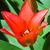 kırmızı · lâle · görüntü · çiçek · bitkiler · makro - stok fotoğraf © Kirschner