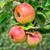 elma · görüntü · üç · düşmek · ağaç · yaprak - stok fotoğraf © Kirschner