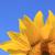 weinig · bee · zonnebloem · foto · vergadering - stockfoto © kirschner