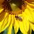 zonnebloem · honingbij · macro · hemel · zomer · veld - stockfoto © kirschner