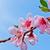 pêssego · primavera · flores · jardim - foto stock © klagyivik