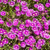 pink flower background stock photo © klagyivik