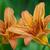 sarı · zambak · çiçek · yalıtılmış · beyaz · bahçe - stok fotoğraf © klagyivik