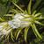 planta · dragão · fruto · um · dia - foto stock © Klodien