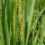 fókusz · rizs · virág · látható - stock fotó © Klodien