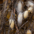 focus on living silkworm cocoons attached to dry branches stock photo © klodien