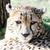 çita · yüz · portre · kürk - stok fotoğraf © KMWPhotography