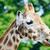 giraffe stock photo © kmwphotography
