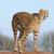 éber · gepárd · sivatag · Dél-Afrika · szemek · macska - stock fotó © kmwphotography
