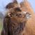 deve · çim · güneş - stok fotoğraf © kmwphotography