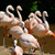 pink flamingos in group stock photo © kmwphotography