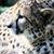 çita · profil · kafa · güneş · tek · başına - stok fotoğraf © KMWPhotography