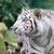 beyaz · kaplan · doğa · kedi · portre · hayvan - stok fotoğraf © kmwphotography