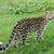 leopardo · alertar · big · cat · caminhada · olhando · poderoso - foto stock © kmwphotography
