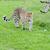 leopárd · feketefehér · kép · arc · macska · portré - stock fotó © kmwphotography