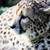 çita · profil · güneş · güzel · izlerken - stok fotoğraf © KMWPhotography