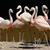 pink flamingos stock photo © kmwphotography