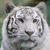 beyaz · kaplan · kedi - stok fotoğraf © KMWPhotography