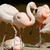 розовый · фламинго · изящный · большой · клюв · красоту - Сток-фото © kmwphotography