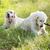 kettő · kutyák · játszik · park · vegyes · fajta - stock fotó © konradbak