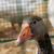 gray duck stock photo © koufax73