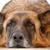 velho · cansado · cão · pastor · cabelo · triste - foto stock © kuligssen
