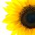 zonnebloem · witte · kant · Geel - stockfoto © kuligssen
