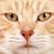 red cat closeup stock photo © kurhan