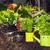 新鮮な · パセリ · 地上 · 葉 · 庭園 · ファーム - ストックフォト © kurhan
